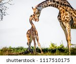 gentle moment between a mother... | Shutterstock . vector #1117510175