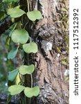 leaves of hoya kerrii craib or... | Shutterstock . vector #1117512392