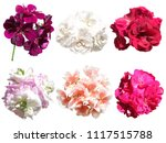 set of different pelargonium... | Shutterstock . vector #1117515788