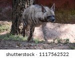 striped hyena or indian hyena | Shutterstock . vector #1117562522