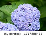 closeup of green hydrangea ... | Shutterstock . vector #1117588496