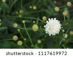 Small photo of Giant scabious pale yellow flower - Latin name - Cephalaria leucantha