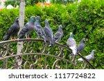 Pigeons Sit On The Bridge  Birds