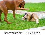 Stock photo best dog friends english bulldog and rhodesian ridgeback playing outdoors in the garden 111774755
