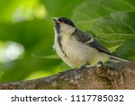 juvenile great tit in nature | Shutterstock . vector #1117785032