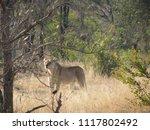 lioness in kruger park | Shutterstock . vector #1117802492