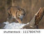 Bobcat  Lynx Rufus  Stalks...