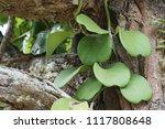 leaves of hoya kerrii craib or... | Shutterstock . vector #1117808648