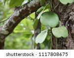leaves of hoya kerrii craib or... | Shutterstock . vector #1117808675