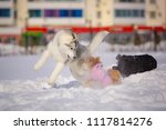 Small photo of Dogs play and frolic in the snow.