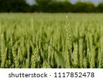 Green Wheat Close Up With Warm...