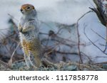Arctic Ground Squirrel Posing...