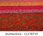 Multi Colored Tulip Field In...