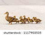 A mother duck and her ducklings ...