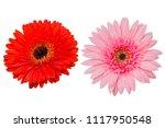 gerbera flower on white isolated   Shutterstock . vector #1117950548