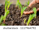 the seedlings of corn are... | Shutterstock . vector #1117964792