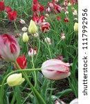 multicolored tulips in the... | Shutterstock . vector #1117992956