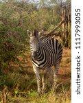a lone burchell's zebra   equus ... | Shutterstock . vector #1117993055