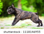 French Bulldog Outdoor