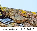 young sparrow at nest | Shutterstock . vector #1118174915
