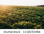soy field at sunset   Shutterstock . vector #1118252486