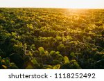 soy field at sunset   Shutterstock . vector #1118252492