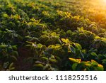 soy field at sunset   Shutterstock . vector #1118252516