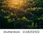 soy field at sunset   Shutterstock . vector #1118252522