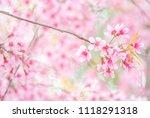 cherry blossom in spring with... | Shutterstock . vector #1118291318