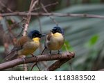 this small songbird  indigenous ... | Shutterstock . vector #1118383502