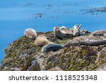 Small photo of Sea lions are sunning on a rock. A mother has raised its head to warn off a pup. There are other pups near the mother. Other sea lions are on the rocks A blue ocean with kelp is in the background