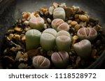 lithops plants. living stones... | Shutterstock . vector #1118528972