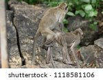 mating of monkeys in thailand. | Shutterstock . vector #1118581106