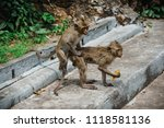 mating of monkeys in thailand. | Shutterstock . vector #1118581136
