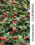 raspberry bush with an...   Shutterstock . vector #1118589092