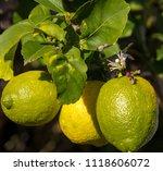 bright yellow eureka lemons... | Shutterstock . vector #1118606072