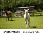 two llamas in a green field... | Shutterstock . vector #1118621738