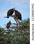 Small photo of Portrait of vulture scavengers in treetop.