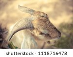close up of sheep's head. | Shutterstock . vector #1118716478