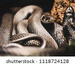 several black snakes resting on ... | Shutterstock . vector #1118724128