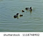 wild duck family at cubelles ... | Shutterstock . vector #1118748902