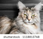 Beautiful Maine Coon Cat...