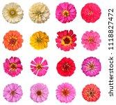 common zinnia isolated...   Shutterstock . vector #1118827472