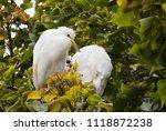 Great Egret  Cababysmerodius...
