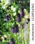 phyteuma spicatum or spiked... | Shutterstock . vector #1118916362