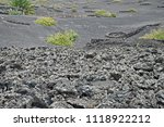 lava field with winegrowing in... | Shutterstock . vector #1118922212