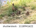 mother duck with some chicks on ... | Shutterstock . vector #1118941622