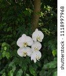 flowers of white phalaenopsis... | Shutterstock . vector #1118997968