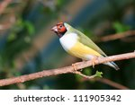 finches sitting on a branch in... | Shutterstock . vector #111905342