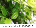 Spider Web In Holly Bush With...